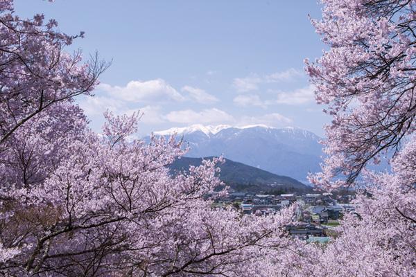 日帰りお花見 バスライナー 高遠城址桜まつり 「タカトウコヒガンザクラ」の旅