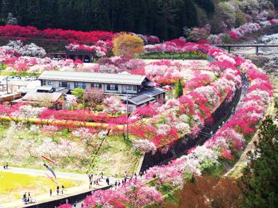 〜美人の湯 出湯45周年〜 日本一の桃源郷「花桃の里」