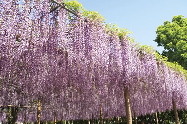 麗しの花の競演 津島天王川藤まつり 長浜総持寺隠れぼたん